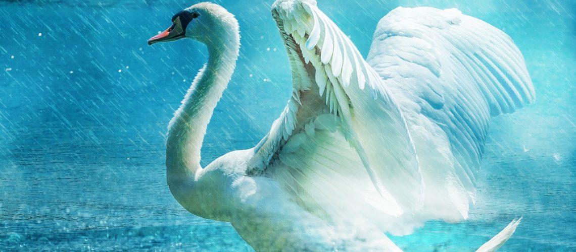 swan-584412_1280